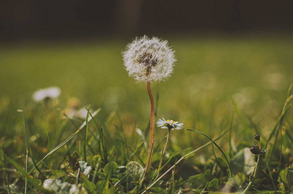 Before Weed Control there is a single Dandelion allowed to grow so implement Pre & Post Emergent Weed Control services