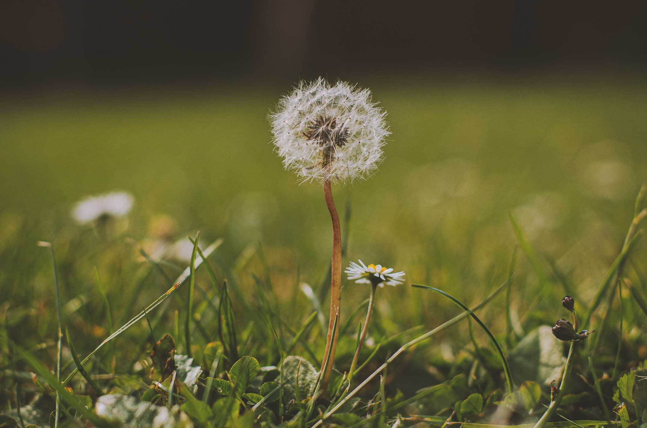 Before Weed Control there is a single Dandelion allowed to grow so implement Pre & Post Emergent Weed Control​ services